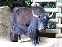 千葉市動物公園のヤク