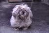 チベット犬